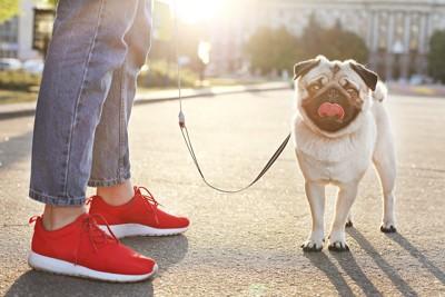 赤い靴を履いた飼い主と散歩をするパグ