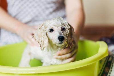 家で飼い主にシャンプーされている子犬