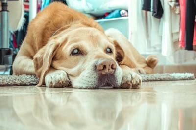 フセをしている白内障の犬