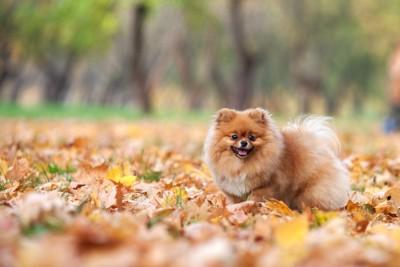 落ち葉と笑顔で歩くポメラニアン