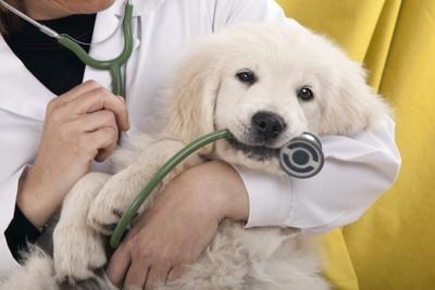 聴診器を咥えている犬