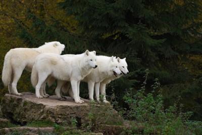 石の上に立つオオカミの群れ
