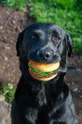 ハンバーガーのオモチャを咥えた黒い犬