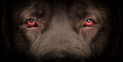 赤い目の犬