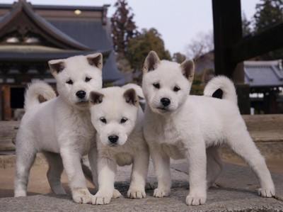 3頭の紀州犬