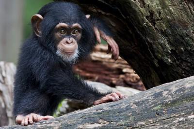 木に登るチンパンジーの赤ちゃん