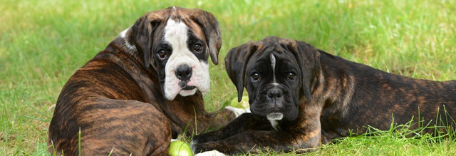 ボクサーの子犬2匹