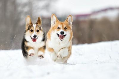 雪の上を並んで走る二頭のコーギー