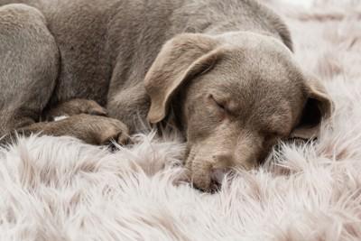 柔らかいベットで眠る犬