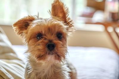 片方の耳を立てる犬