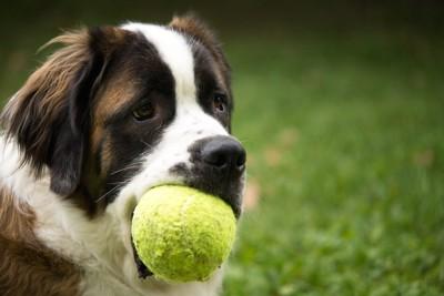 ボールを咥えている犬