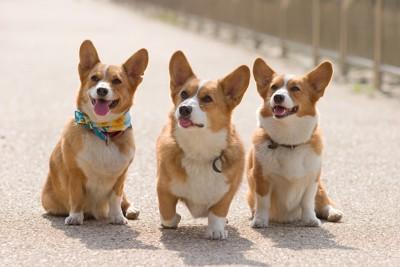 道路に座る三匹のコーギー