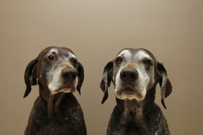 顔周りの被毛が白くなった二頭の犬