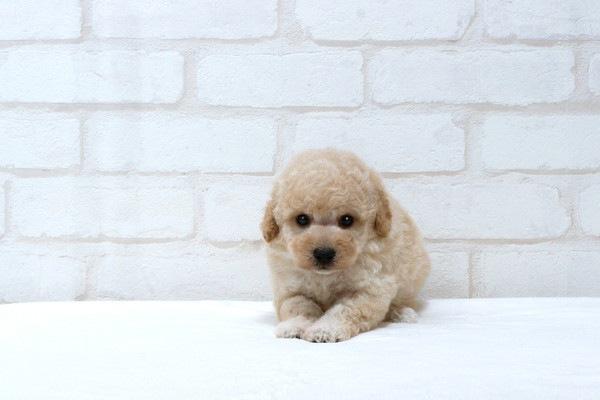 トイプードルのアプリコットの毛色の子犬