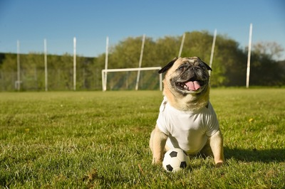 サッカーボールと座るパグ