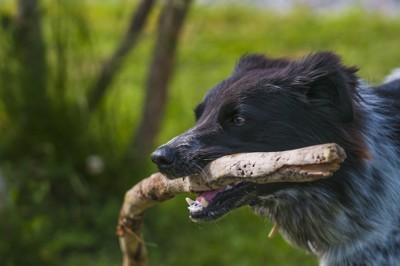 棒を咥える黒い犬