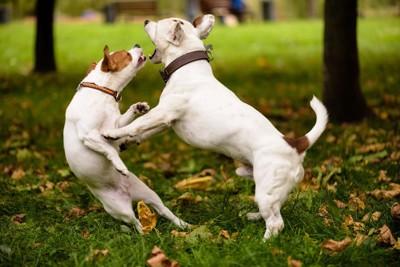 取っ組み合う二匹の白い犬