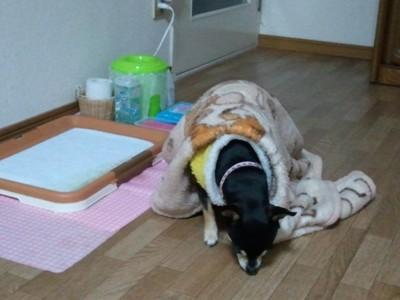 床の臭いを嗅ぐ犬