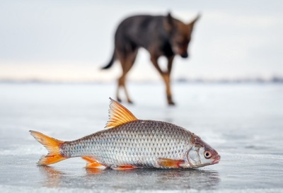 淡水魚と遠くに見える犬