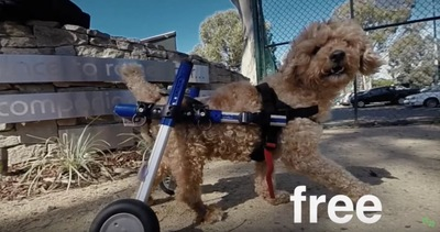 車椅子をつけた犬