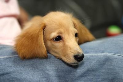 膝に顎を乗せるミニチュア・ダックスフンドの子犬