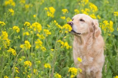 菜の花の匂いを嗅ぐ犬
