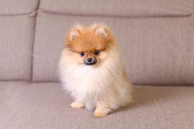 ソファーに座っているポメラニアンの子犬