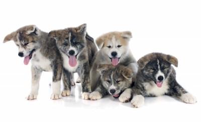 たくさんの虎毛の秋田犬の子犬