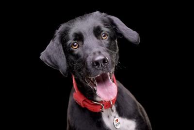 舌を出す赤い首輪をした黒い犬