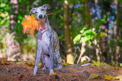 落ち葉を咥えて座るウィペット