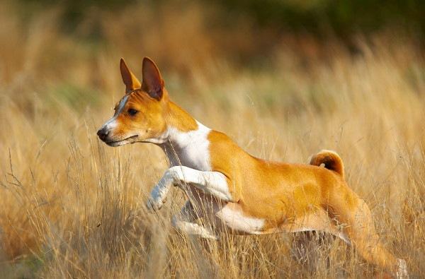 草むらを走るバセンジー