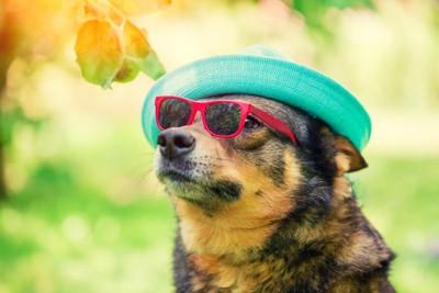 帽子とサングラスの犬
