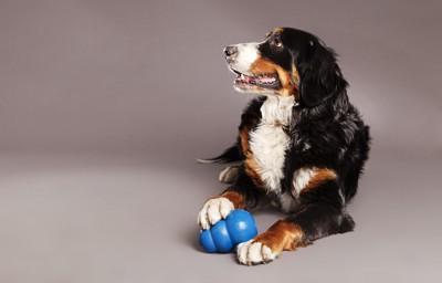おやつを仕込んだおもちゃで遊ぶ犬