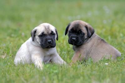 2匹のイングリッシュマスティフの子犬