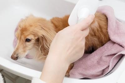 お風呂でブラッシングをされる犬