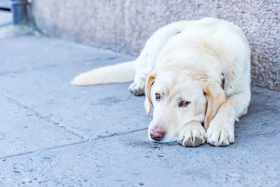 道の壁際に伏せている垂れ耳の犬