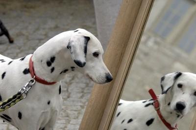 鏡の中の自分を見つめるダルメシアン