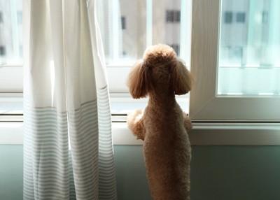 立ち上がって窓の外を見る犬の後ろ姿
