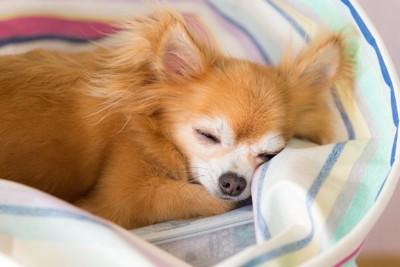 ベッドで眠るチワワ