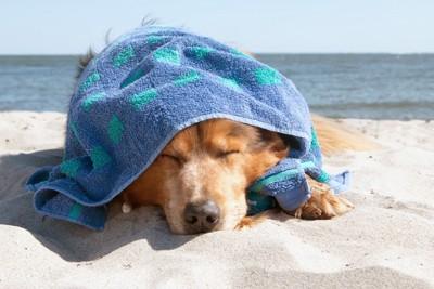 タオルを乗せられている犬