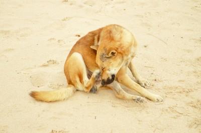 砂場で頭を掻く犬