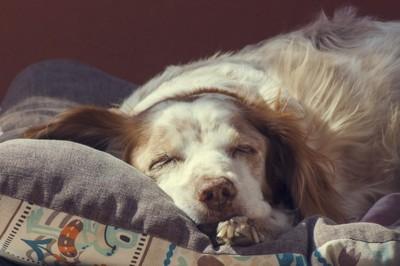 心地よさそうに眠る白×茶の犬