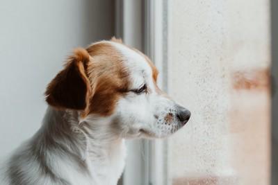 寂しそうな表情で外を見つめる犬