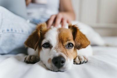 飼い主の横に伏せて撫でられている犬