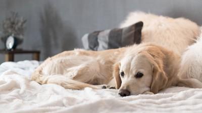 ベッドで休むレトリバー