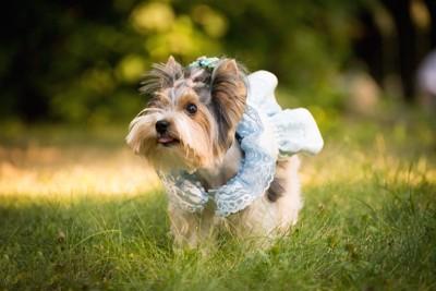 水色のドレスを着た犬