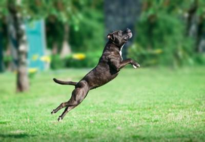 ジャンプしているピットブル