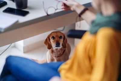 オフィスのデスクの下から飼い主を見上げる犬