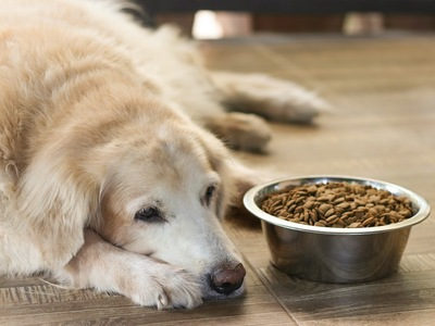 フードの入ったお皿の横に伏せる犬