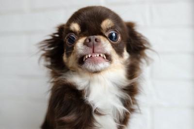 歯を剥きだして怒っているチワワ
